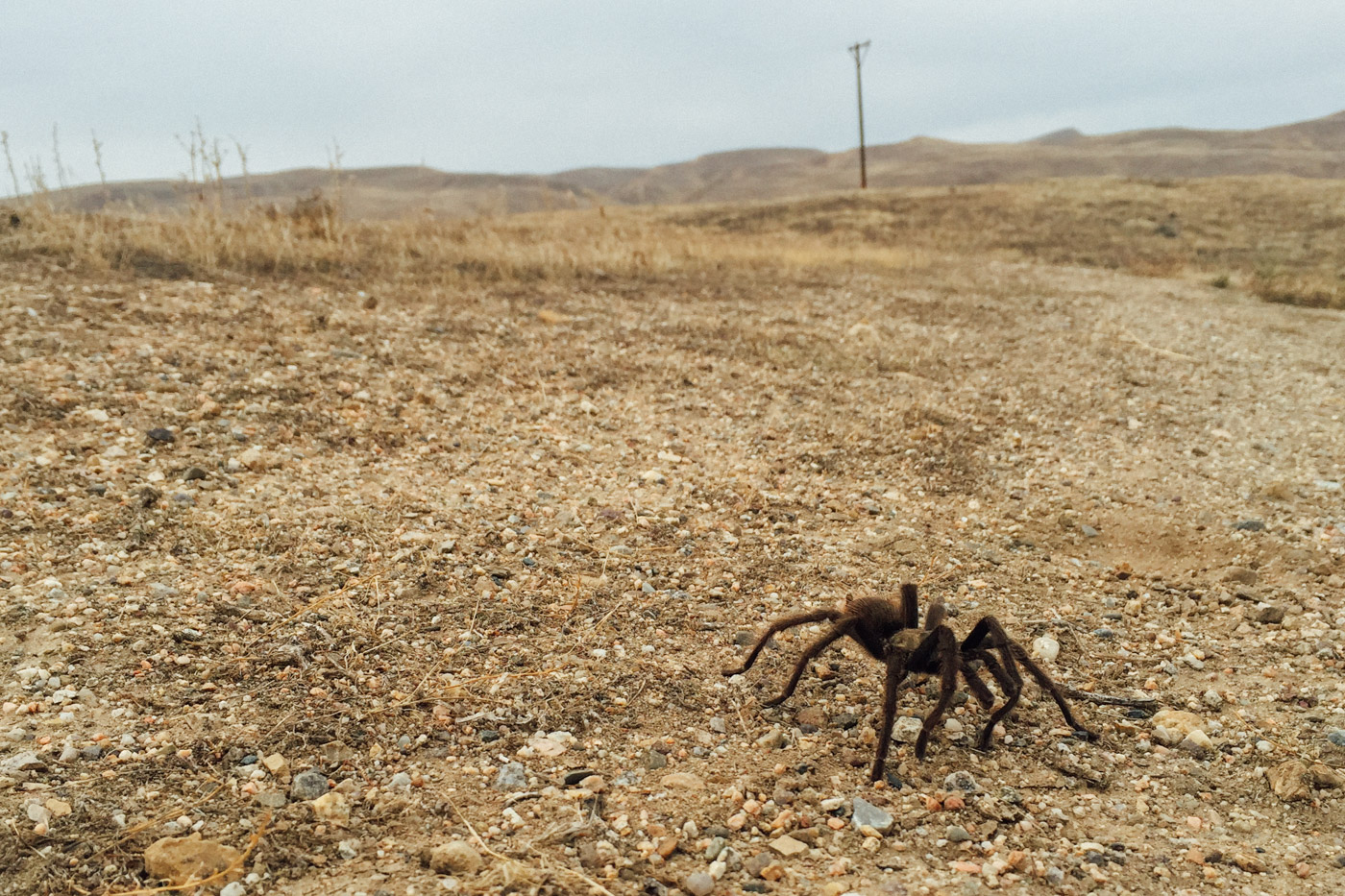 Tarantula mating season - Let's Photo Trip Highway 33