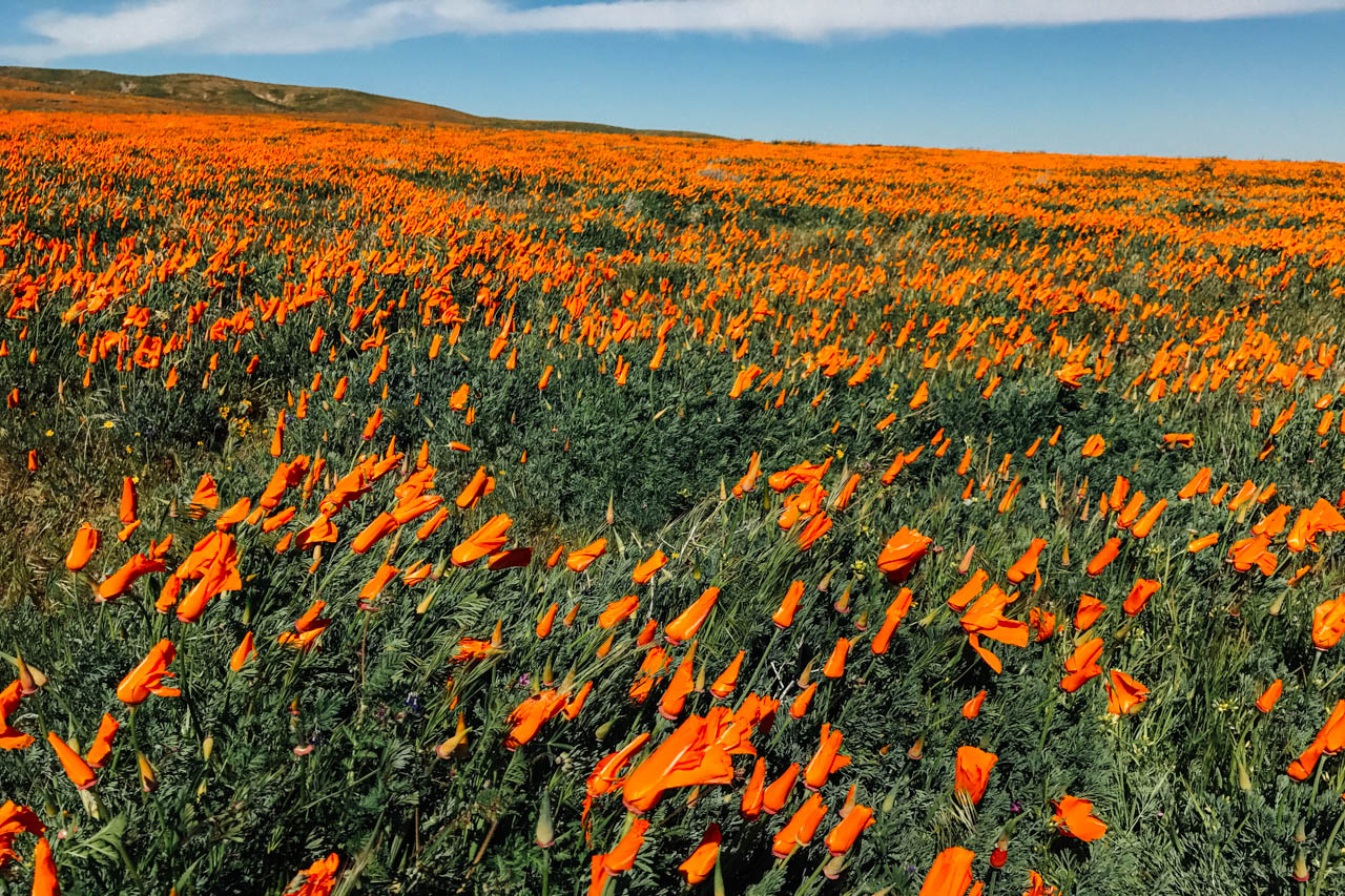 Poppy meadow. Let's Photo Trip!