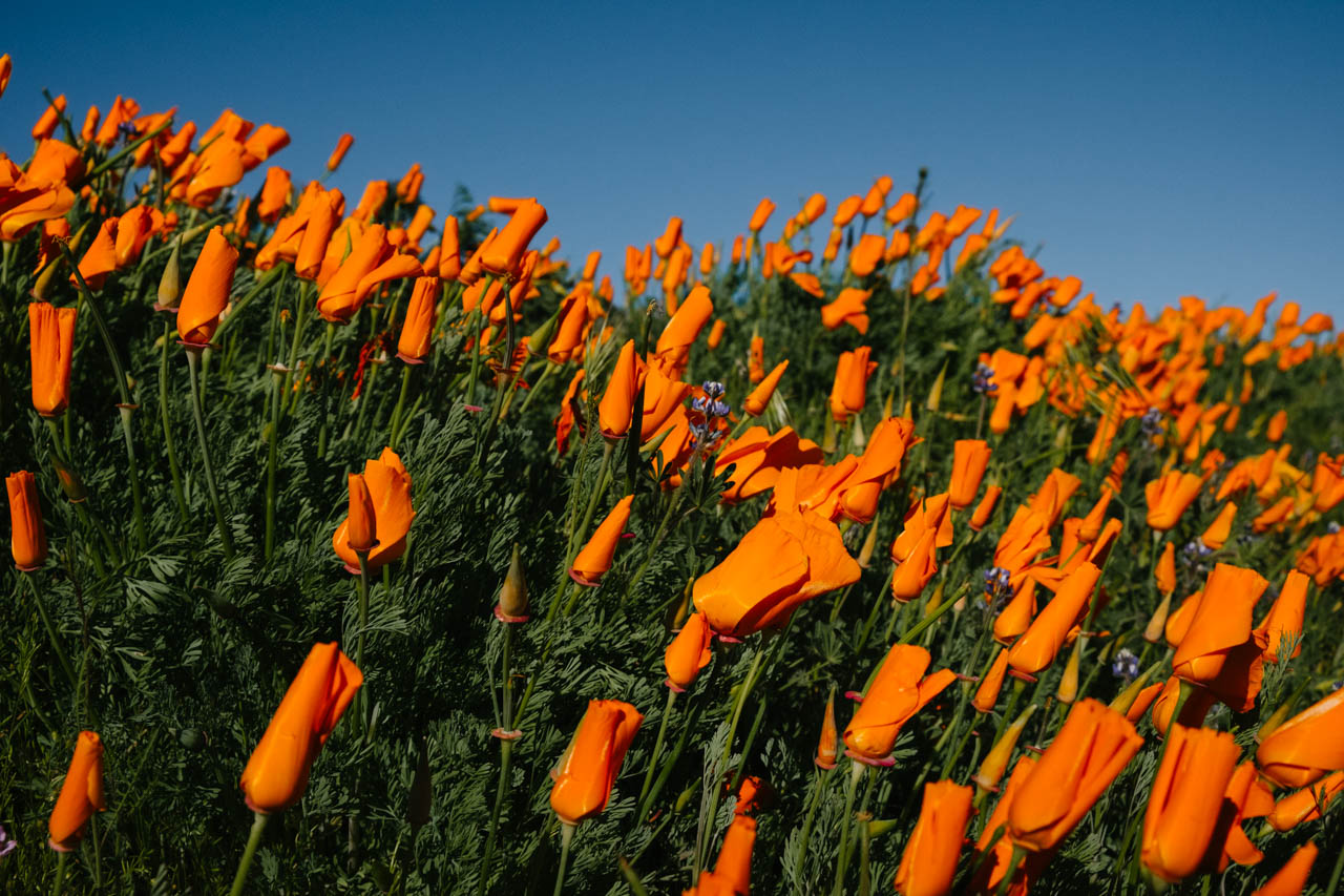 Antelope Valley Poppy Reserve - Let's Photo Trip