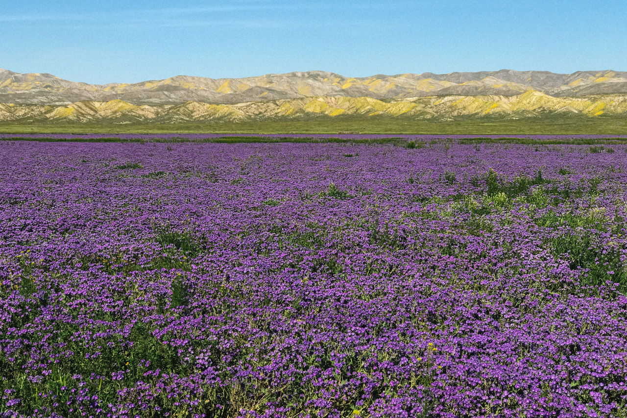 The sea of Purple Phacelia at Carrizo Plain. Let's Photo Trip