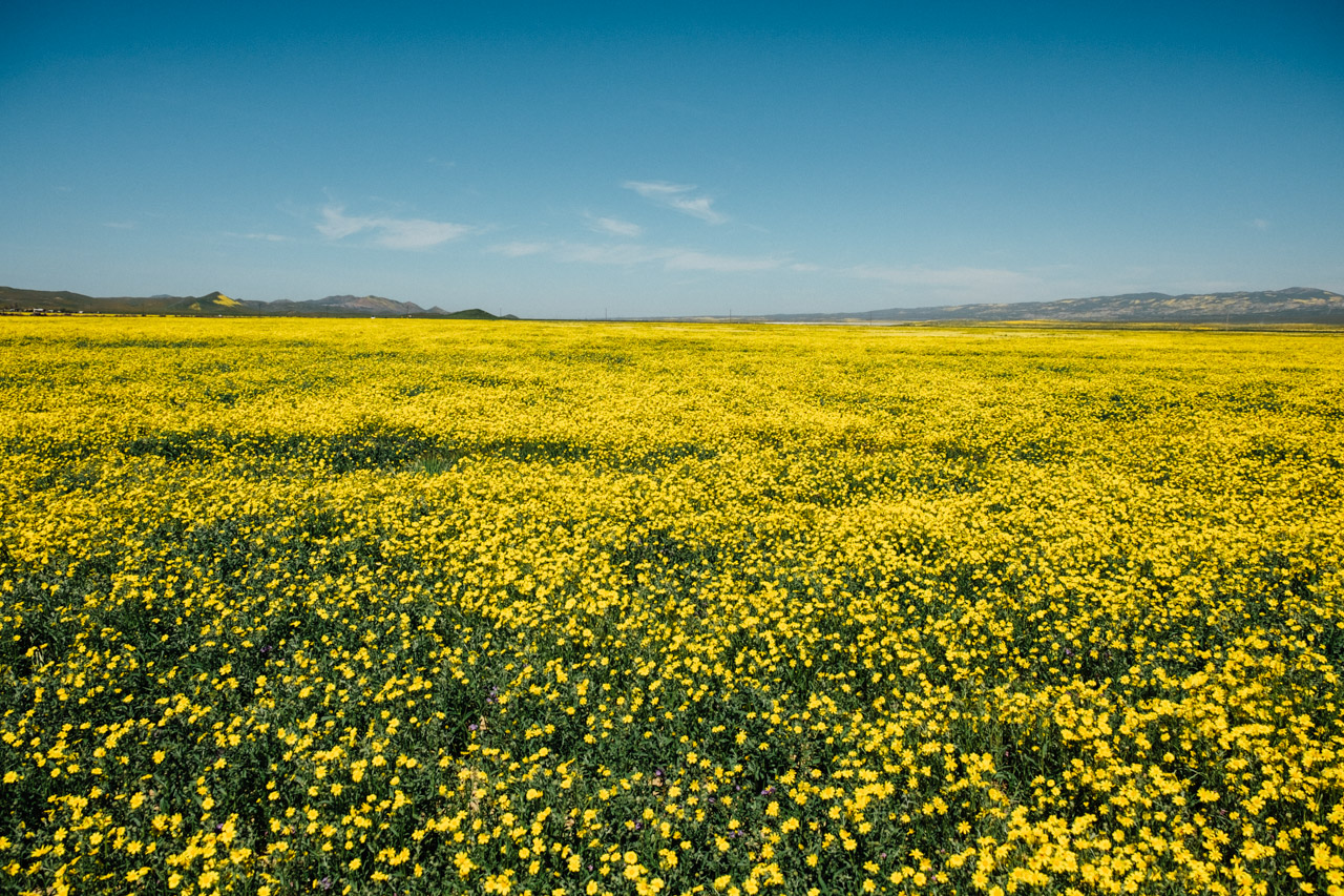 An endless field of Monolopia at Carrizo Plain. Let's Photo Trip